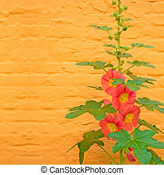 a red blooming mallow with an orange stone wall in the background and copy space for your text