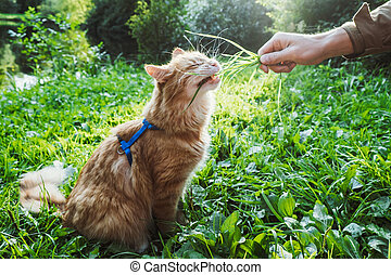 A red cat is eating grass in the park