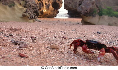 A red crab, moving on a sandy beach with rocks in the sunset of the island of Hormuz, Iran