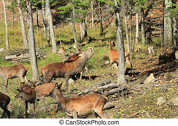 A red deer male. - A red deer male with a harem of females ...