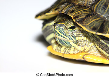 red-eared turtle - a red-eared turtle isolated in white ...