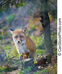 A red fox in the autumn forest