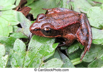 Red-legged Frog - A Red-legged Frog in Washington State