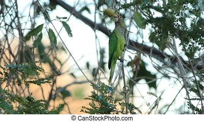 Red-lored Parrot, Amazona autumnalis, in Costa Rica - A...