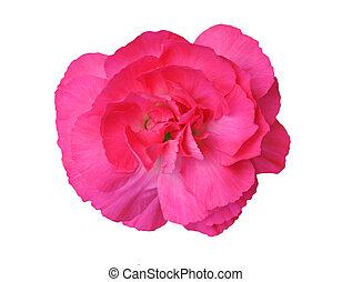 red pink carnation