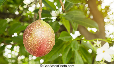 A red ripe round fruit of Suicide tree, called in other name are Pong Pong and Othalanga tree, on green leaf background