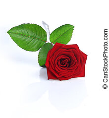 Rose - A Red Rose isolated on white background