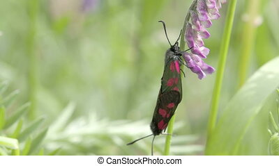 A red spotted black butterfly hanging on the orchid