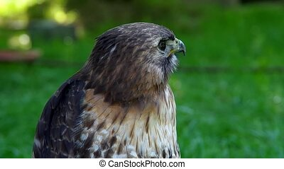A Red Tailed buzzard on a green background