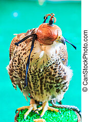 A Red-tailed hawk (Buteo jamaicensis) covered with falconry ...