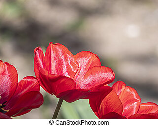 A red tulip on the garden