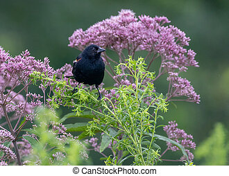 Red Winged Blackbird on a Flower