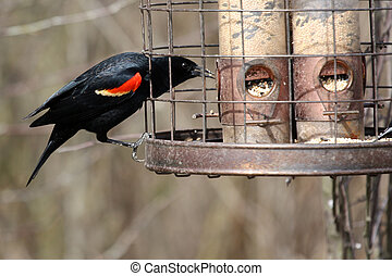 Red-Winged Blackbird - A Red-Winged Blackbird out on a sunny...