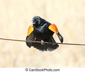 red-winged blackbird - A red-winged blackbird's territorial ...
