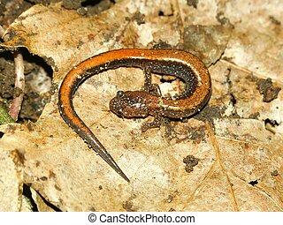 Redback Salamander (Plethodon cinereus)