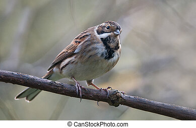 A Reed Bunting perched on a tree