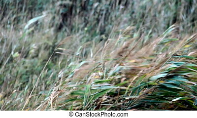 reed field - a reed field blowing in the wind in autumn