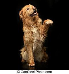a, reizend, hovawart, puppie, hebt, sie, front, bein