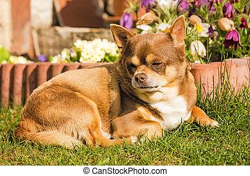a relaxing chihuahua