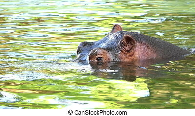 an Exciting Closeup of an Active Hippopotamus Who Swims and Enjoys His Life in a Pond and Sends Bubbles Through His Nostrils on a Sunny Day in Summer in Slow Motion. he Looks Cautious and Funny