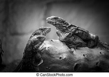 a reptile trio in black and white