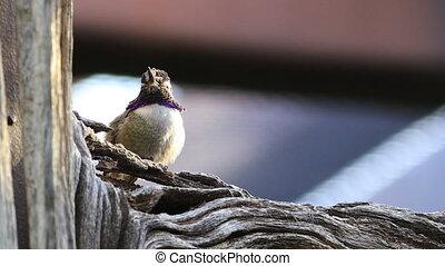 Resting Black Chinned Hummingbird, Archilochus alexandri