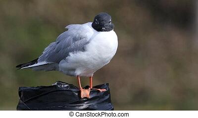 Resting Bonaparte's Gull, Chroicocephalus philadelphia - A...