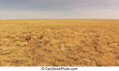 A revolving aerial shot of ostrich