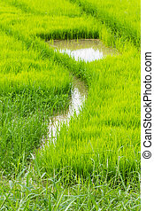 A rice seedlings in Chiangmai Thailand
