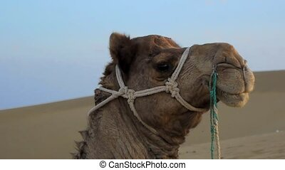 A riding camel in the desert