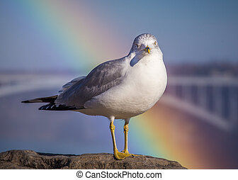 ring billed gull - a ring billed gull (Larus delawarensis ) ...