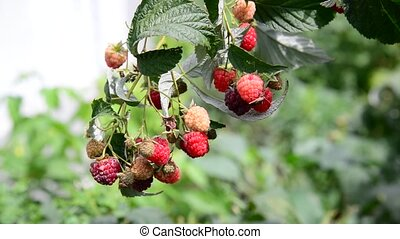 ripe raspberries on the branch