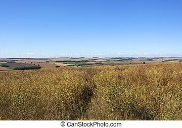 ripening canola crop