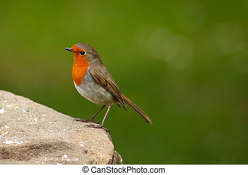 A robin in full colour standing on a rock.