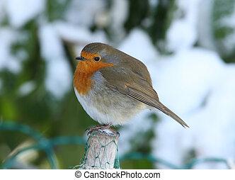 A Robin in winter