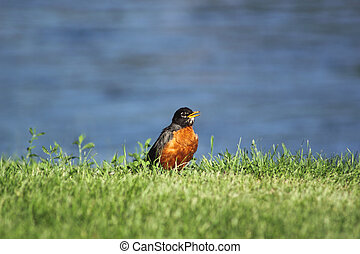 A robin on the riverbank - An orange-breasted robin in the...