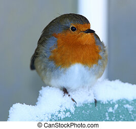 Robin - A Robin perched in the snow