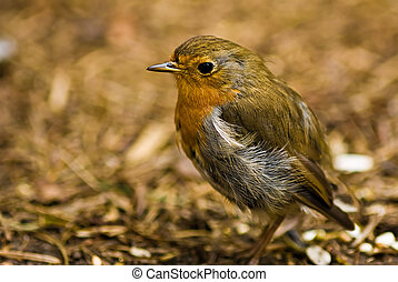 A robin redbreast - A cute robin redbreast on the forest...