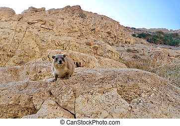 Rock Badger - A Rock Badger looking at the camera in Ein...