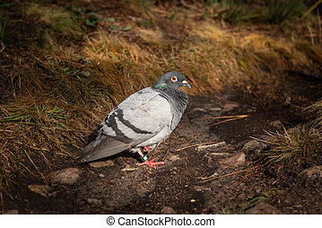 A rock dove resting on the ground