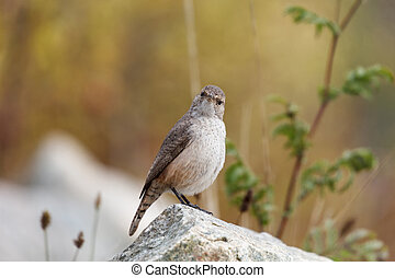 Rock Wren - A Rock Wren perches on a rock. Vancouver,...