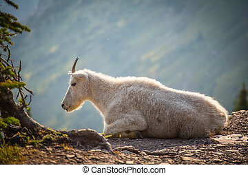 A Rocky Mountain goat at Glacier National Park - A very good...
