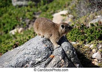 rodent - A rodent on rocks / south afrika