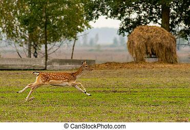 A roe deer runs across the field.