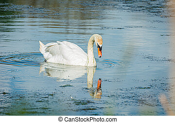 A romantic Mute swan (Cygnus olor) and its reflection. Blue water background