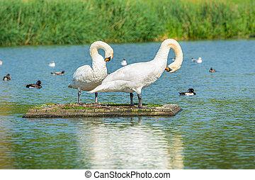 A romantic Mute swan (Cygnus olor) couple. Blue water background