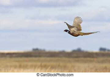 A Rooster Pheasant in flight