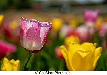 a, rosa, tulpenblüte, steht, vor, a, tulpe feld