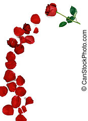 A rose flower accompanied by many rose petals