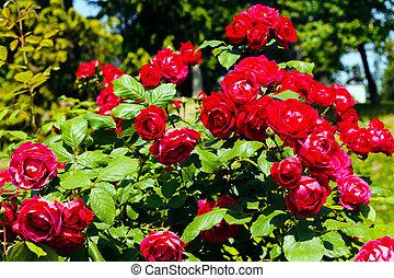 a rose bush in the garden